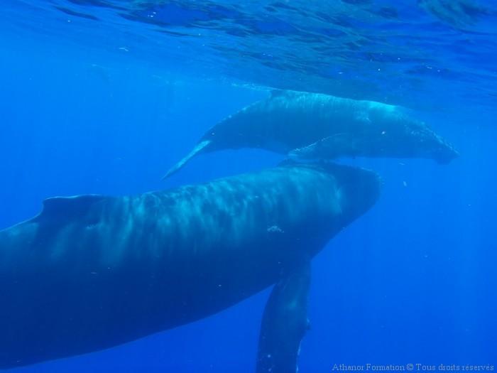 mere baleineau