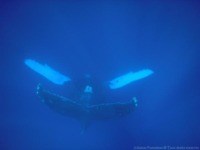 baleine-chantante-hawai-ocean-indien