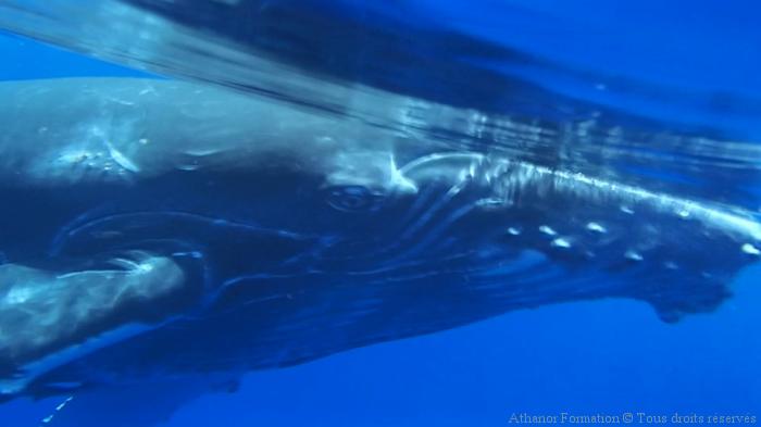 baleineau curieux