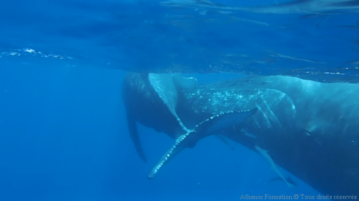 Nager avec les baleines à bosses