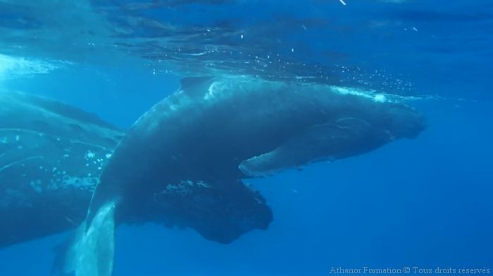 Chant mystérieux de la baleine à bosse